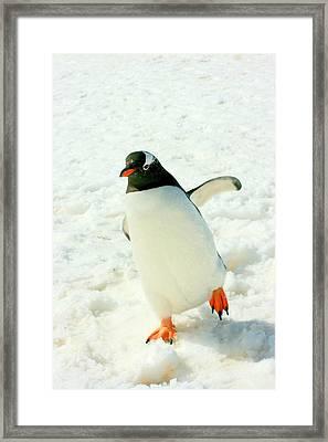 Gentoo Penguin Running Framed Print