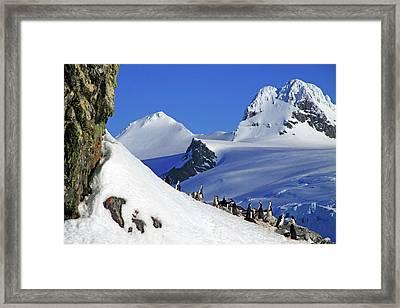 Gentoo Penguins And Chicks (pygoscelis Framed Print by Miva Stock
