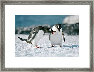 Gentoo Penguins Interacting Framed Print by Dr P. Marazzi