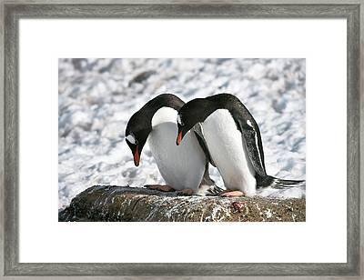 Gentoo Penguins Pair Bonding Framed Print