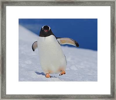 Gentoo Waddle Framed Print by Tony Beck