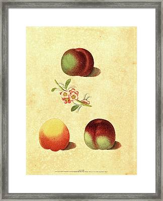 George Brookshaw, British Active 1812, Three Peaches Framed Print by Litz Collection