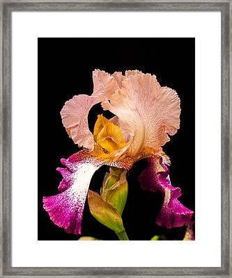 Georgeous Iris 2 Framed Print