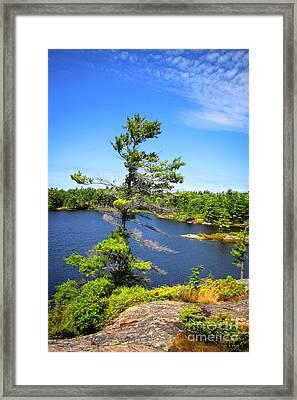 Georgian Bay Pine Tree Framed Print by Charline Xia
