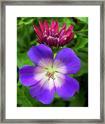Geranium And Osteopurnum Flowers Framed Print