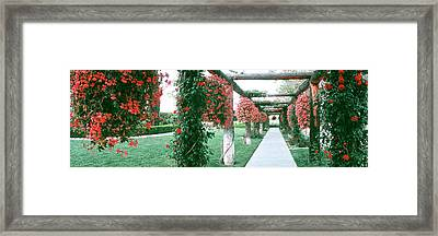 Geranium And Rose Vines Along A Walkway Framed Print by Panoramic Images