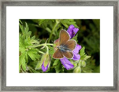 Geranium Argus Butterfly On Cranesbill Framed Print by Bob Gibbons