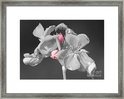 Geranium Framed Print by Cindy Manero