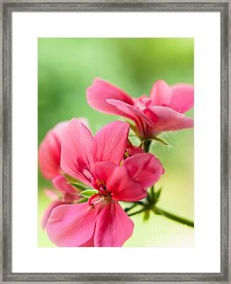 Geranium Gift Framed Print
