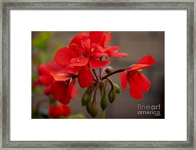 Geranium Framed Print by Ivete Basso Photography