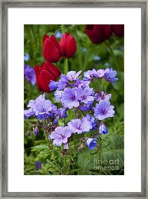 Geranium Malviflorum And Tulipa Framed Print