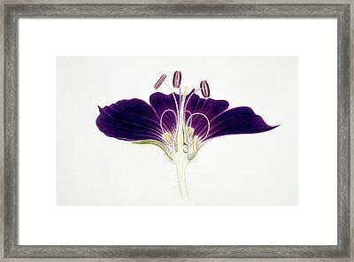 Geranium Phaeum Flower Framed Print