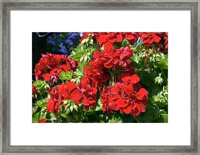 Geranium 'precision Dark Red' Framed Print