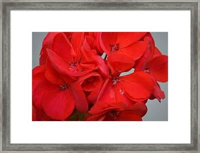 Geranium Red Framed Print by Maria Urso