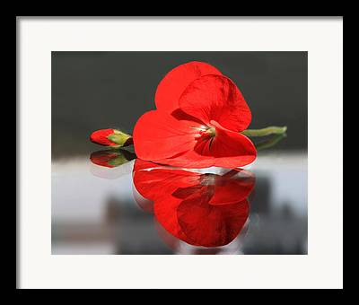 Red Geranium Reflected. Mirror Image Of Geranium Flower Framed Prints