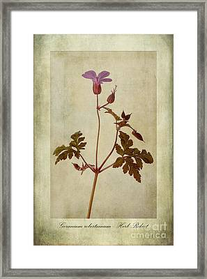 Geranium Robertianum Framed Print by John Edwards