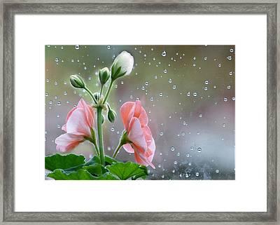 Geraniums Framed Print by Geraldine Alexander
