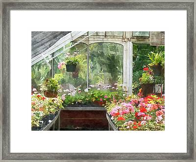 Geraniums In Greenhouse Framed Print