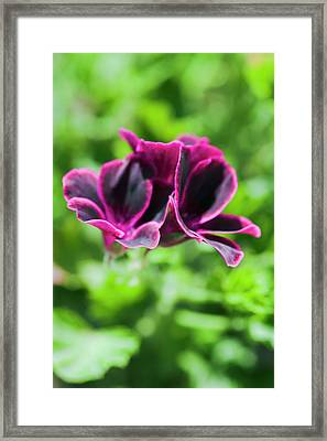 Geraniums (pelargonium Sp.) Framed Print by Gustoimages/science Photo Library