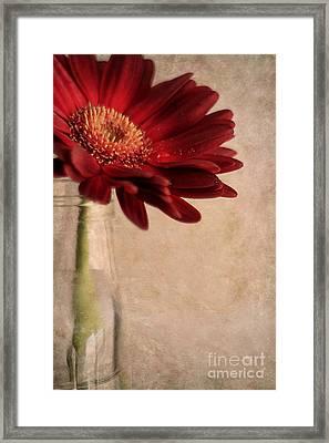 Gerber 02 Framed Print by Darren Fisher