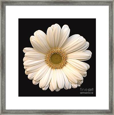Gerber Daisy Framed Print by Addie Hocynec
