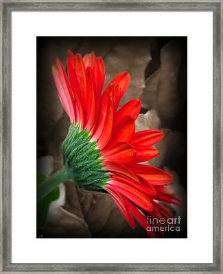 Gerber Daisy Bashful Red Framed Print by Ella Kaye Dickey