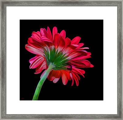 Gerber Daisy Framed Print by Hazel Billingsley
