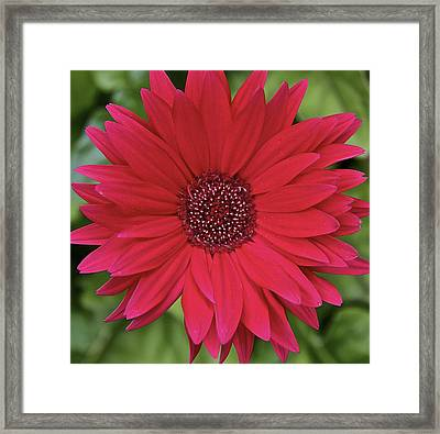 Gerber Daisy In Red Framed Print