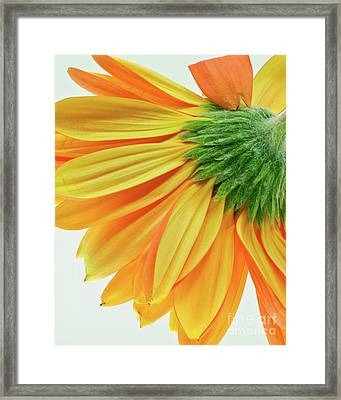 Gerber Daisy Number 1 Framed Print by Art Barker