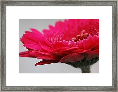 Framed Print featuring the photograph Gerber In Pink by Amee Cave