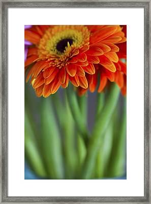 Gerbera Daisies In A Vase Framed Print by Zoe Ferrie