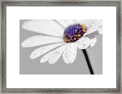 Gerbera Daisy - Macro Framed Print by SharaLee Art