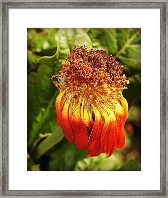 Gerbera Daisy - Orange Framed Print by Carol Toepke