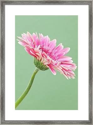 Gerbera Daisy Flower Framed Print by Andrew Dernie