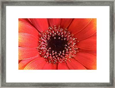 Gerbera Daisy Flower IIi Framed Print by Natalie Kinnear