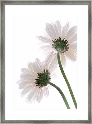 Gerbera Daisy II Framed Print