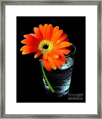 Gerbera Daisy In Glass Of Water Framed Print by Nina Ficur Feenan