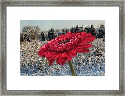 Gerbera Daisy In The Snow Framed Print by Trish Tritz