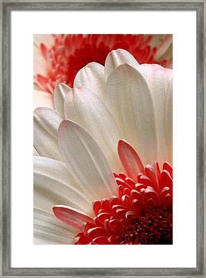 Gerbera Daisy Iv Framed Print