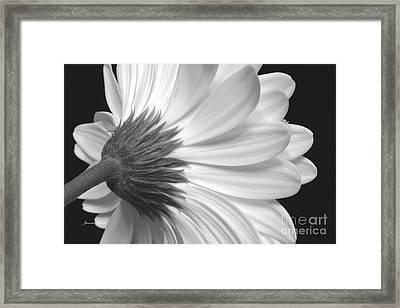 Gerbera Daisy Monochrome Framed Print