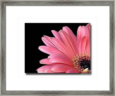 Framed Print featuring the photograph Gerbera Encore by Chris Anderson