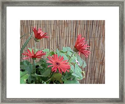 Framed Print featuring the photograph Gerbera Glory by Belinda Lee