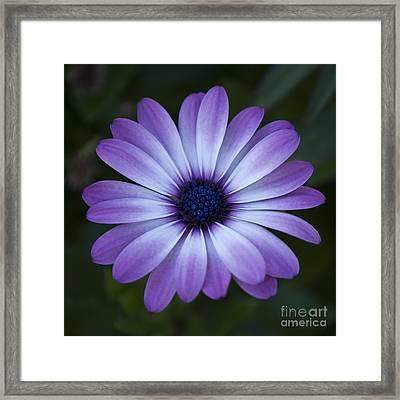 Gerbera In Purple Framed Print