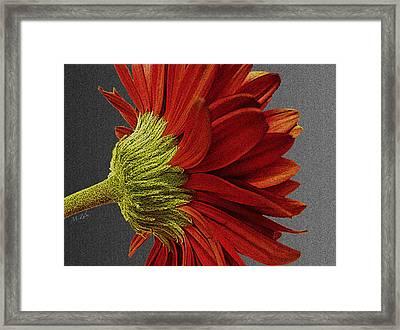 Gerbera In Red Framed Print by Megan Washington
