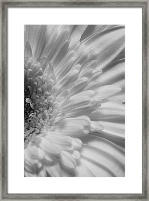 Gerbera Framed Print