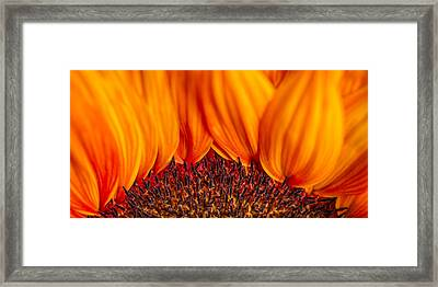 Framed Print featuring the photograph Gerbera On Fire by Adam Romanowicz