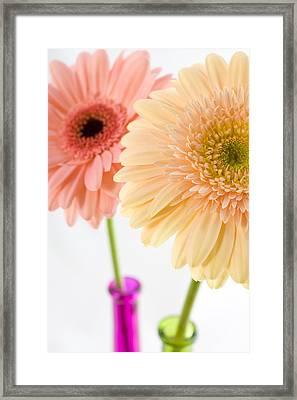 Peach And Pink Gerbera Framed Print