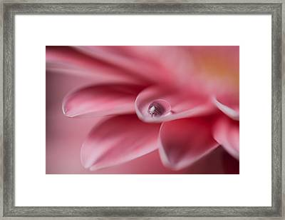 Gerbera With Water Droplet Framed Print