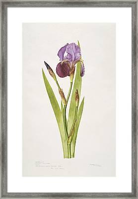 German Iris Flower, 20th Century Framed Print