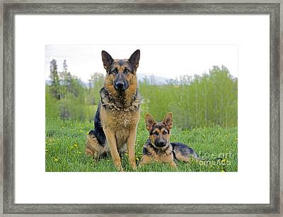 German Shepherd And Puppy Framed Print by Rolf Kopfle